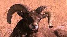 Land Mammals - Bighorn Ram Bedded Down