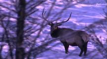 Land Mammals - Bull Elk Behing Bare Tree Branches