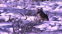 Land Mammals - Coyote In Snow