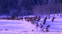 Land Mammals - Herd Of Elk Moving Away From Camera