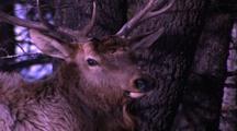 Land Mammals - Bull Elk