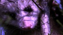 Opossum Video Footage