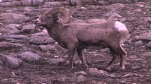 Land Mammals - Bighorn Ram Grazing, Light Snow Falling