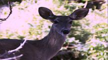 Land Mammals - Mule Deer