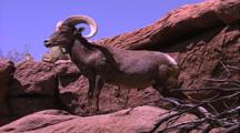 Land Mammals - Bighorn Sheep Profile On Desert Rock