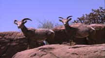 Land Mammals - 2 Young Bighorn Sheep, Desert Rocks