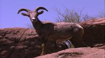 Land Mammals - Young Bighorn Sheep, Desert Rocks