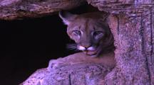 Land Mammals - Mountain Lion At Mouth Of Cave