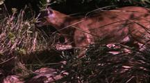 Land Mammals - Camera Tracks Mountain Lion Through Tall Grass