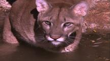 Land Mammals - Mountain Lion Chest Deep In Water