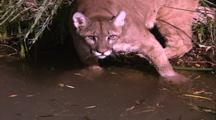 Land Mammals - Mountain Lion At Edge Of Water, Paws At The Water