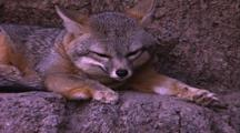 Land Mammals - Grey Fox On Rock Ledge