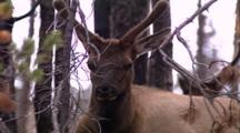 Land Mammals - Close Up Young Bull Elk In Velvet