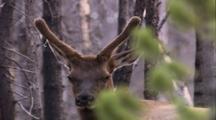 Land Mammals - Tilt Down To Bull Elk In Velvet