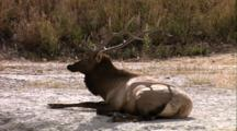 Land Mammals - Bull Elk Laying Down, Near Mammoth Hot Springs