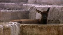 Land Mammals - Elk Calf Laying In Hot Springs, Mammoth Hot Springs Area