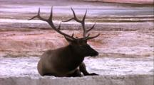 Land Mammals - Large Bull Elk Laying  Down At Mammoth Terraces, Mammoth Hot Springs Area