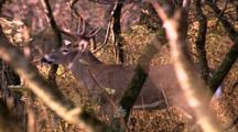 Land Mammals - Whitetail Buck  In Trees, Looks Around