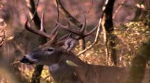Land Mammals - Close Up Whitetail Buck  In Trees
