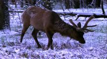 Land Mammals - Bull Elk In Velvet Grazing In Snow