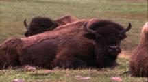 Land Mammals - Several Buffalo / Bison Laying Down And Chewing