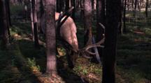 Land Mammals - Bull Elk Grazing, Lodgepole Pines