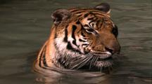 Land Mammals - Siberian Tiger In Water