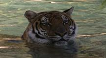 Land Mammals - Siberian Tiger In Water, Shadows