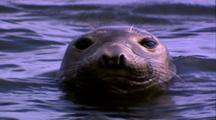 Marine Mammals - Seal In Water Looking At Camera