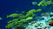 Schooling Fish - Blue Lined Snapper Over Coral