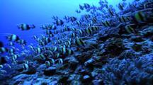 Schooling Fish - Moorish Idols Over Coral