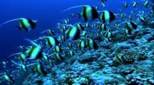 Schooling Fish - Moorish Idols