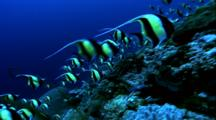 Schooling Fish - Moorish Idols At Coral Wall Drop Off