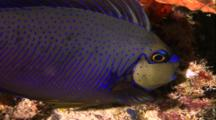 Tropical Fish & Reef - Big Nose Unicorn Fish