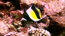Tropical Fish & Reef - Butterfly Fish Feeding On Coral