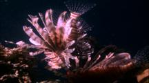 Tropical Fish & Reef - Lionfish
