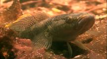 Tropical Fish & Reef - Giant Goby
