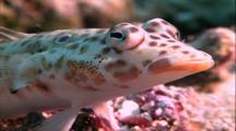 Tropical Fish & Reef - Sandperch