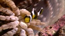 Tropical Fish & Reef - Anemone And Juvenile Clown Fish