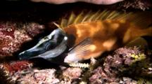 Tropical Fish & Reef - Foxface Rabbitfish (Sleeping)