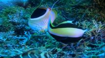 Tropical Fish & Reef - Saddled Butterflyfish And Moorish Idol, Eating Coral