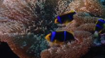 Tropical Fish & Reef - Anemone And Clown Fish (Anemonefish)