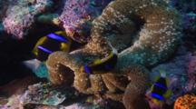 Tropical Fish & Reef - Anemone And Clown Fish (Anemonefish), Slow Zoom Out