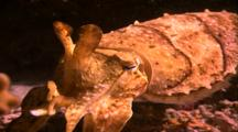 Cephalopods - Cuttlefish