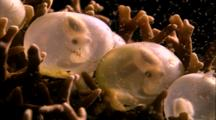 Cephalopods - Cuttlefish Embryos In Egg Cases