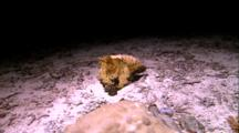 Cephalopods - Camera Tracks Cuttlefish, Changes Color, Changes Shape