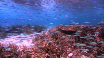 Coral - School Of Small Blue Fish In Shallows Over Staghorn Coral