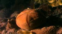 Tropical Sea Life - Cushion Starfish