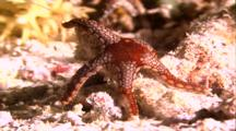 Tropical Sea Life - Peppermint Starfish