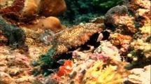 Tropical Sea Life - Sea Cucumber Feeding On Coral
